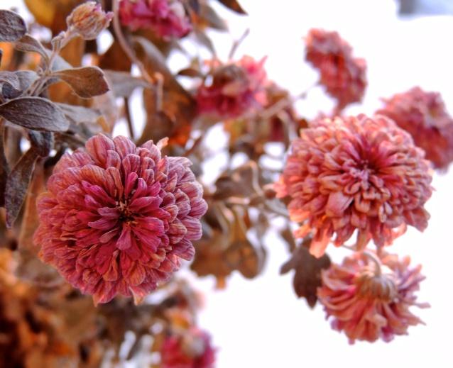 gardenmum#2Jan5