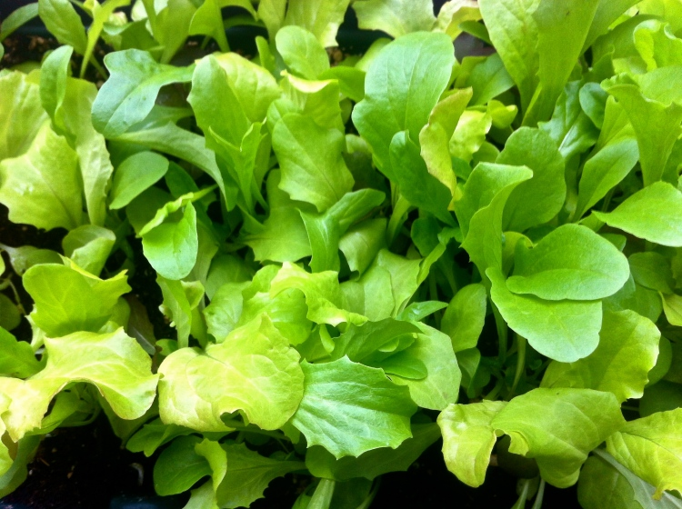 lettuce on my balcony
