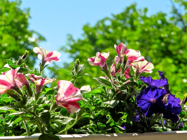 petunias on a bright June day 2