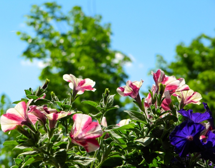 petunias on a bright June day
