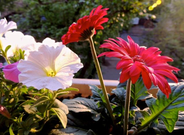 petunias and gerberas