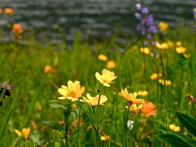 pretty yellow wildflowers