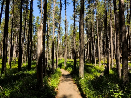Lodgepole Pine forest walking trail at Cypress Hills