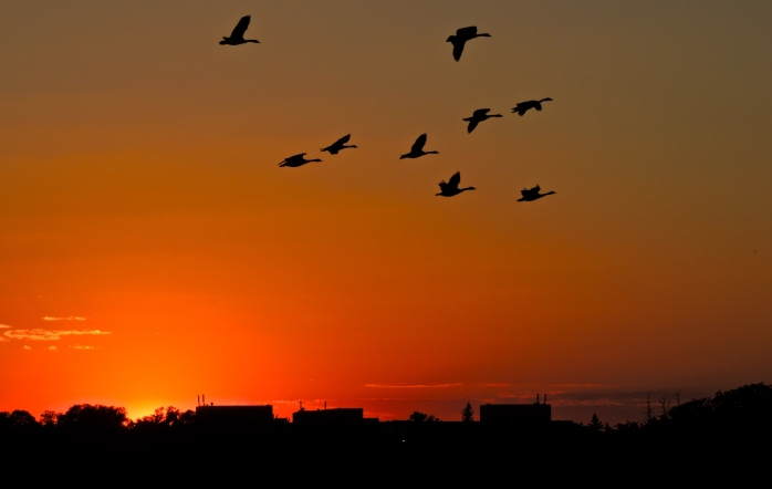 "So far, this is the best ""sunset geese"" picture I've taken, I'm hoping t get more in the new few weeks."