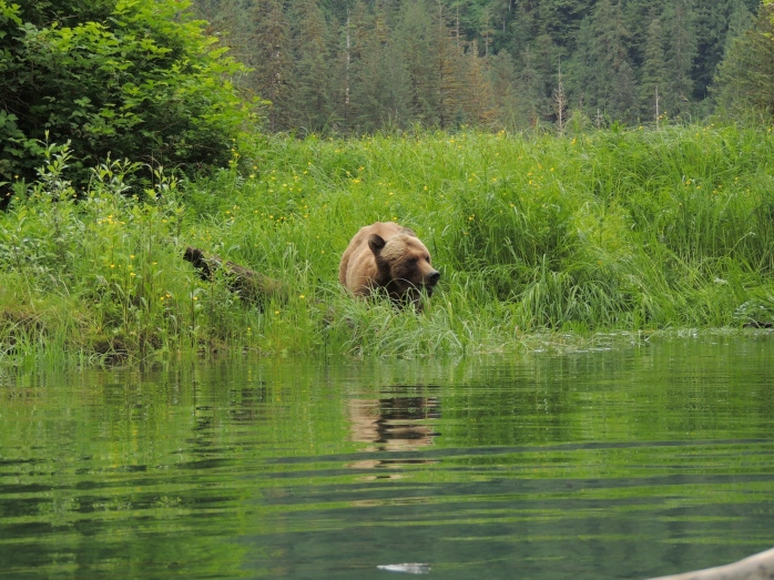 grizzly in the grass