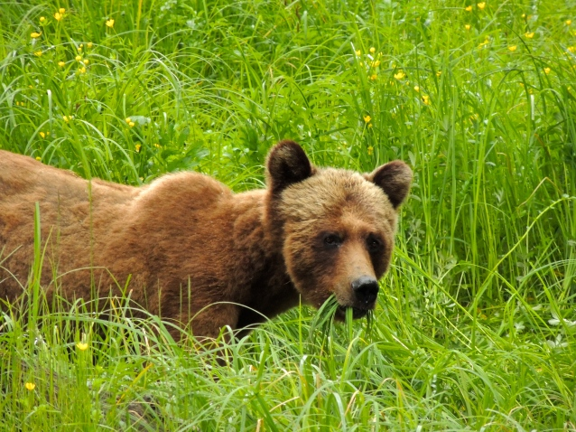 grizzly looking at us