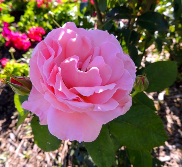 Queen Elizabeth rose 2