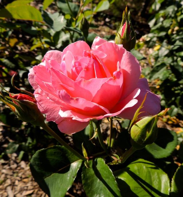 Queen Elizabeth rose