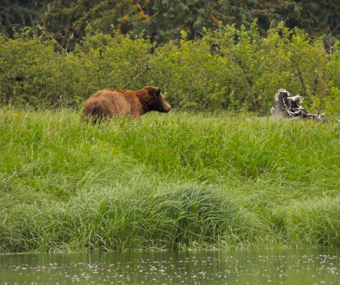 Finally spotting a grizzly at 4:30pm.