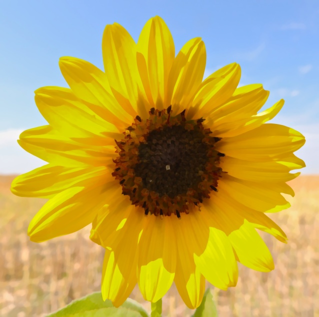 sunflower - artistic effect