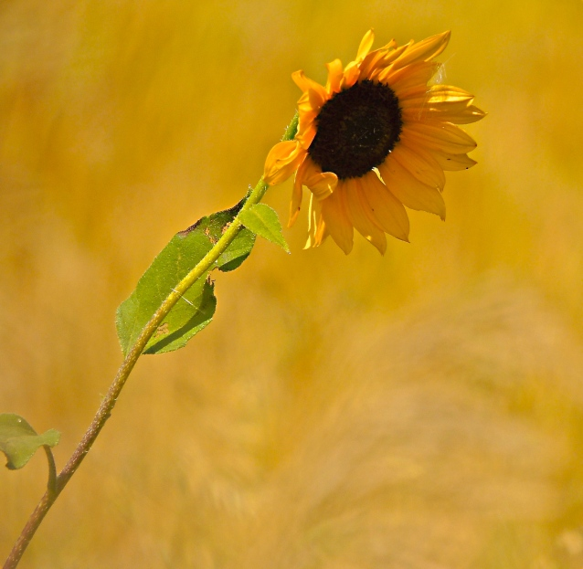 lone sunflower in the wind