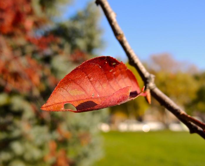 Central Park Red Leaf