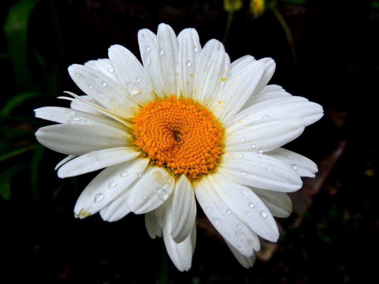 just a daisy