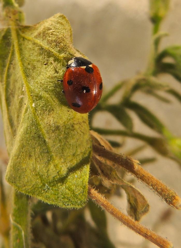 Ladybug on my balcony