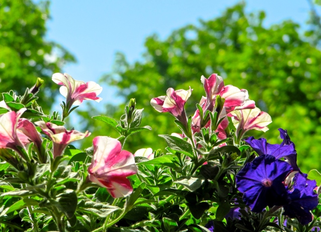 petunias on my balcony