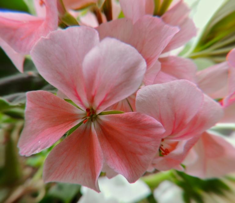 Geraniums on my balcony