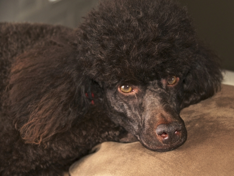 Max the Poodle
