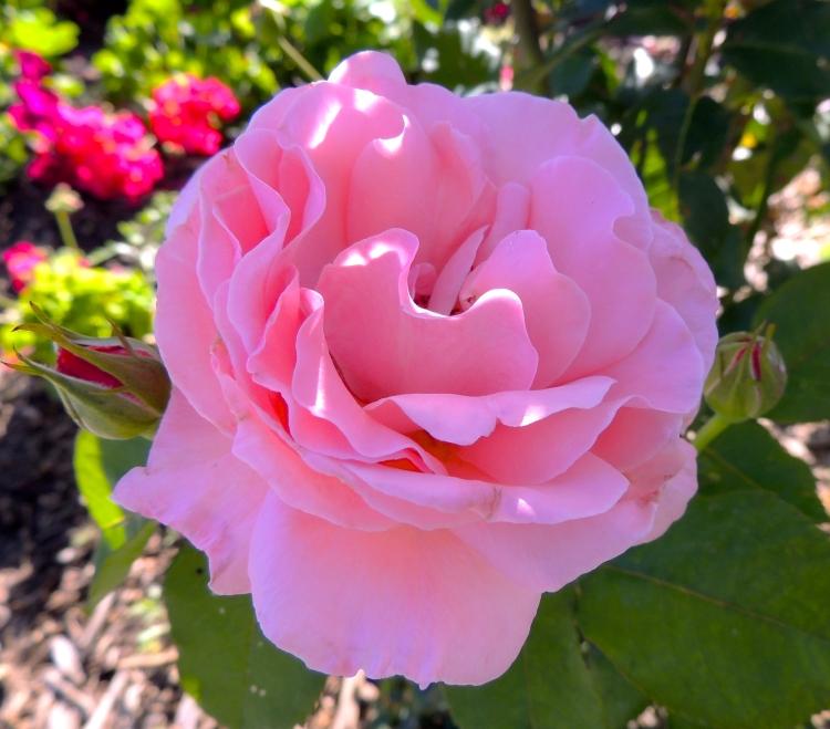 Rose in the Legistlative Garden on Labour Day