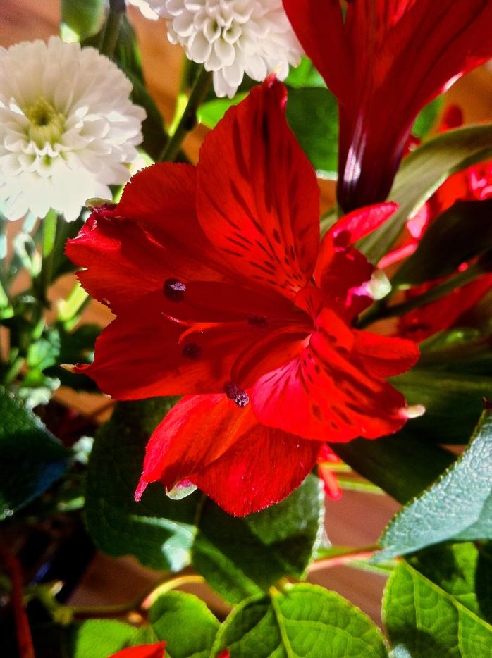 Peruvian Lily 1