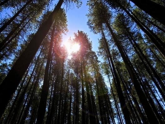 Cypress Hills trees