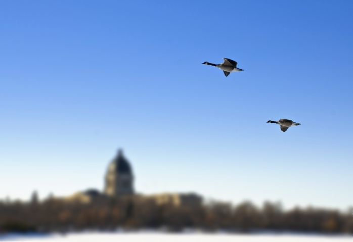 geese flying past the Leg.