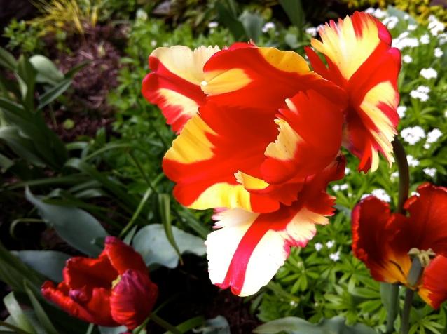 tulips in whistler