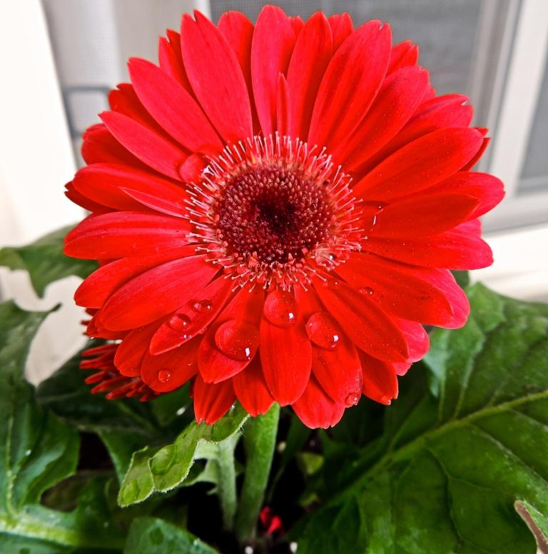 gerbera daisy 2014