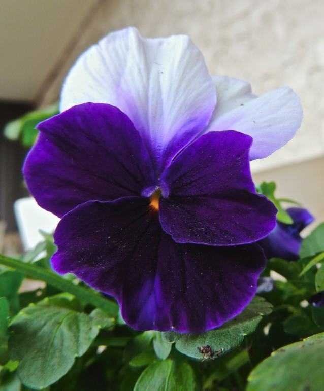 pansy 2014