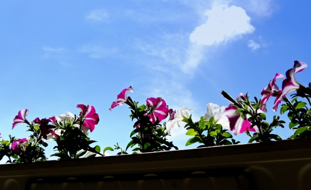 petunias and blue sky 2