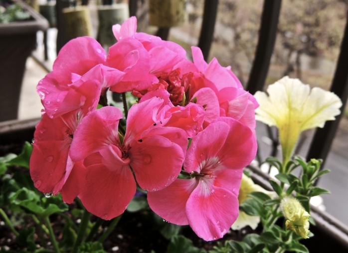 pink geraniums 2014