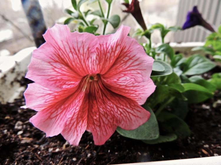 pink petunia 2014