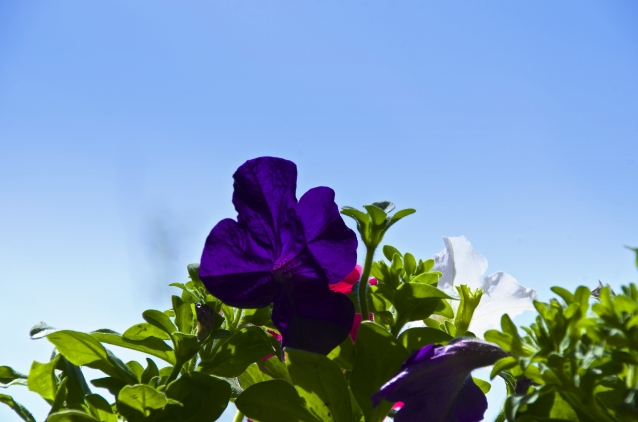 purple petunia and blue sky
