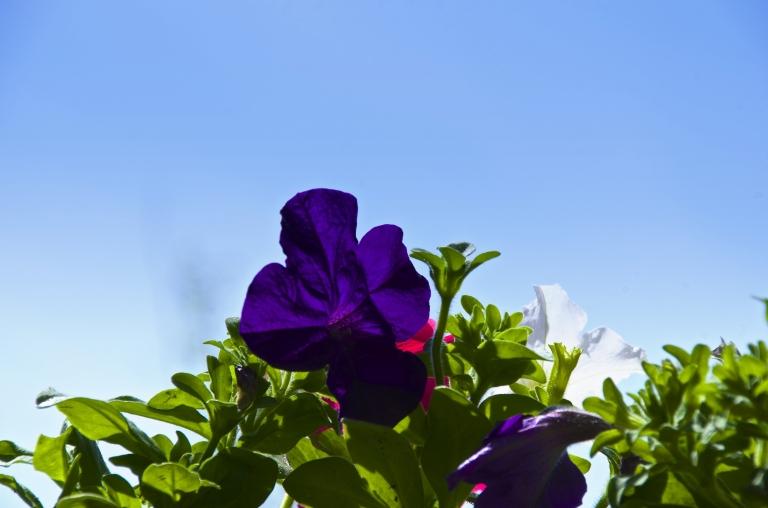 purple petunia and blue sky