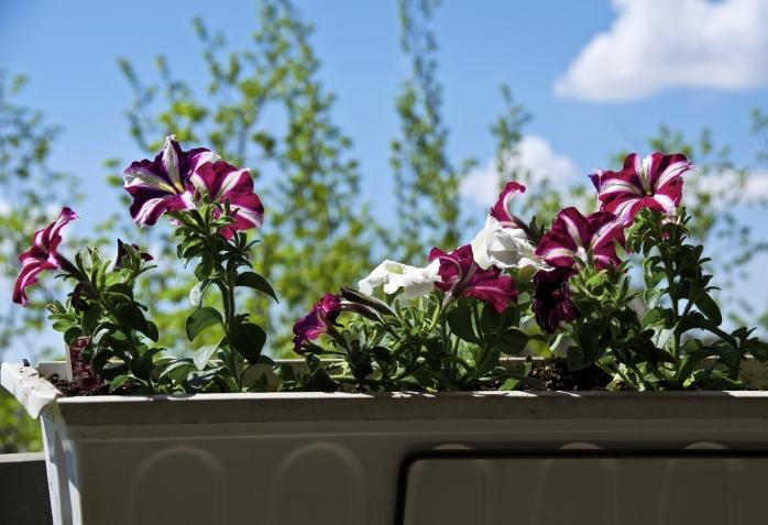 striped petunias and a blue sky