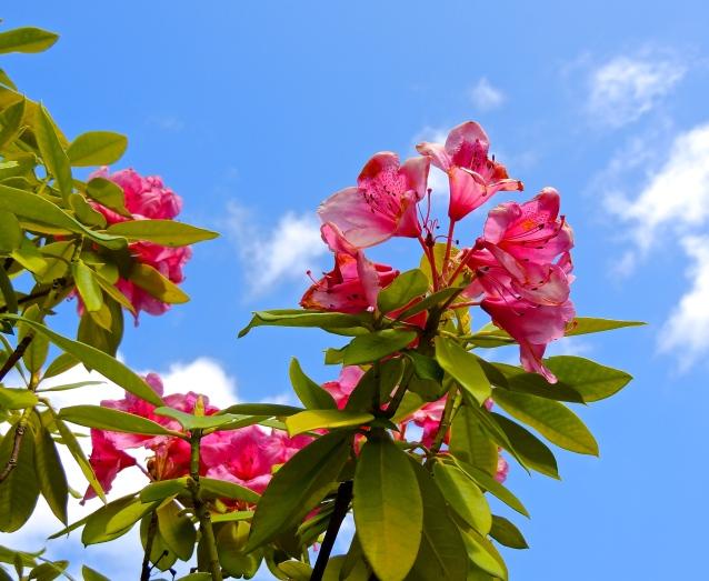 Butchart Gardens Hibiscus