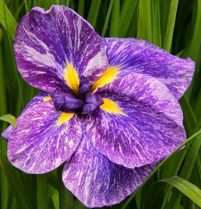 Butchart Gardens Iris