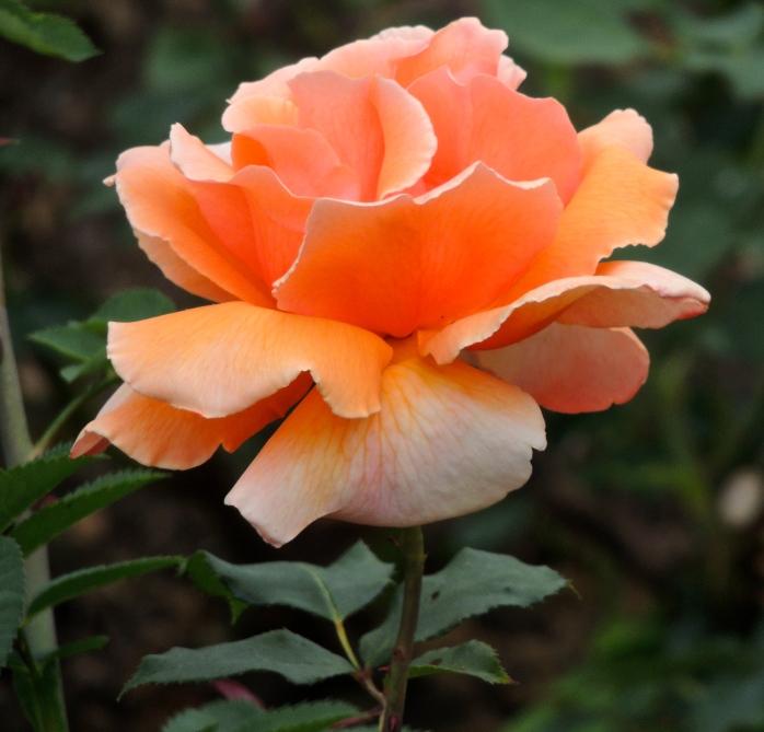 Butchart Gardens rose