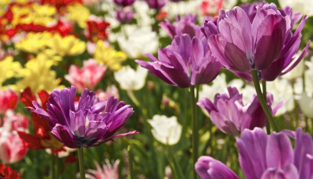 Lake Louise Tulips
