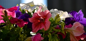 colourful petunias