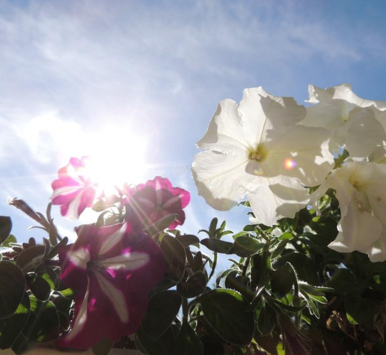 petunias in the sun