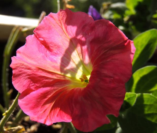 pretty petunia 2