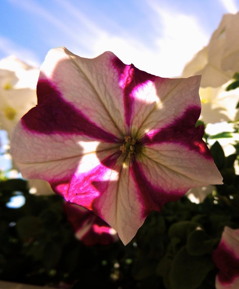pretty petunia 5