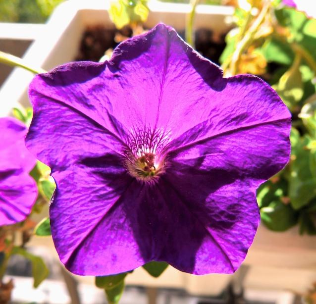 pretty petunia