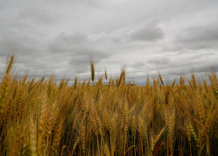 saskatchewan wheat field against a grey sky