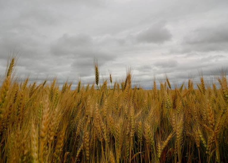 saskatchewan wheat field against a grey sky
