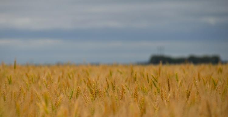 saskatchewan wheat field against a grey sky3