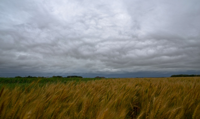 saskatchewan wheat field against a grey sky4