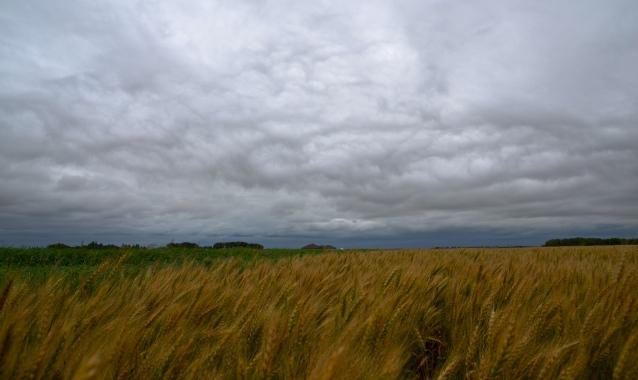 saskatchewan wheat field against a grey sky4