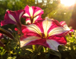 striped petunias