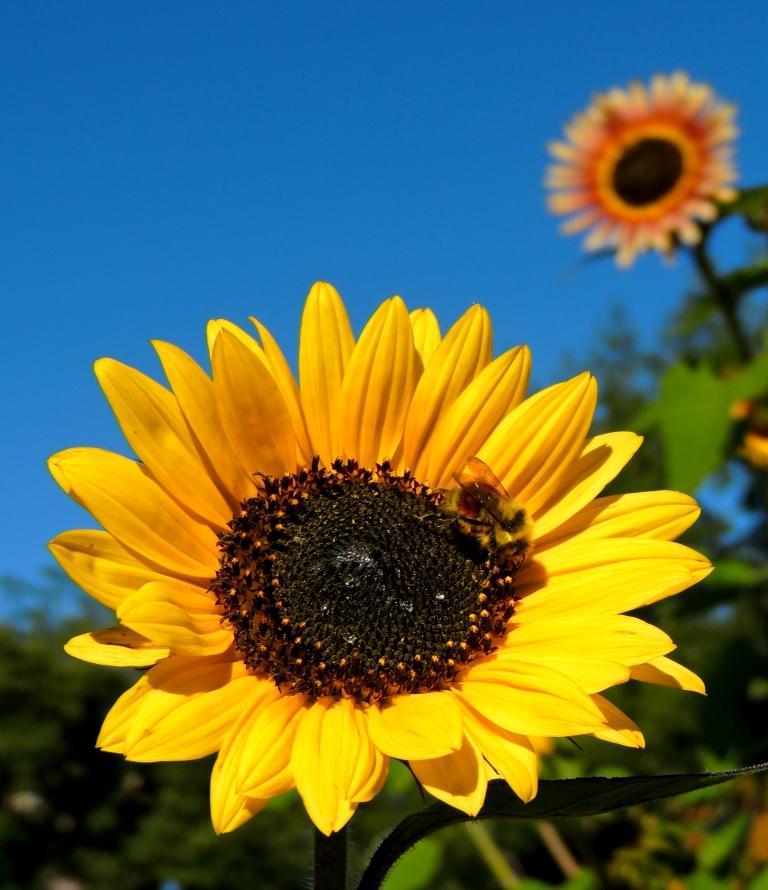 central park sunflower3